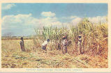 Cutting Sugar Cane, Frome Estate, Jamaica